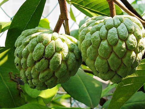 La Pomme-cannelle : Aussi appelée atte. Le fruit mûr doit être mou et sentir bon. On ne mange pas les graines noires mais la pulpe blanche et sucrée. Vraiment super bon ! Saison : septembre à févrie