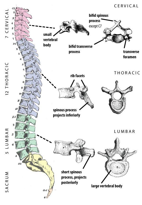 Color coded vertebral column