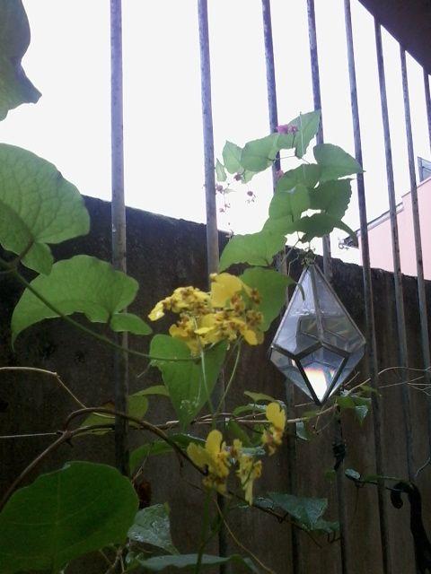 Orquidea oncidium e trepadeira disputando o prisma hehe