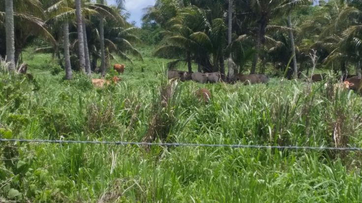 Cows found along side Tinian's roads.
