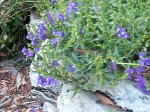 Huang Qin - 黄芩 - Radix Scutellariae Baicalensis