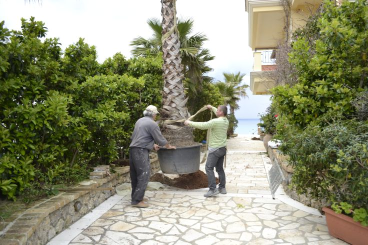 Planting beautiful trees for Delfino Blu Boutique Hotel. #holidays