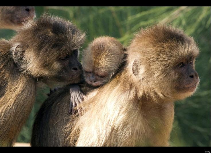.: Capuchin Monkeys, Baby Monkey, One Week Old Baby, Babies, Sweet, Open Air Zoo, Baby Animals, Zoos, Animal Photos