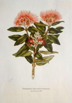 7 $10 21x30cm Botanical Print - Pohutukawa by Sarah Featon