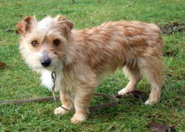 Hund Cairn Terrier Mischling Mischling Rude 1 Jahr In Vilseck