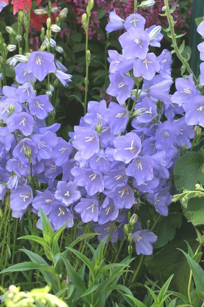 The Vertical Stems Of Peach Leaved Bellflower Campanula Persicifolia Are Cover Bellflower Campanula Cover Le Orchid Seeds Flower Seeds Bonsai Flower