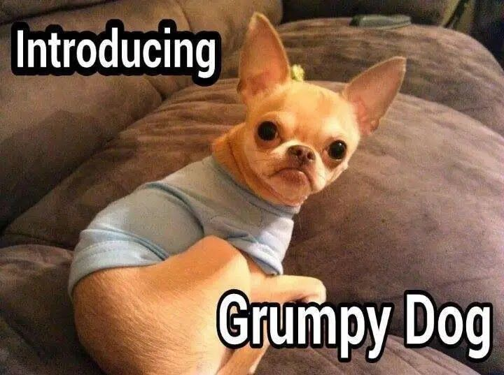 14 Reasons Chihuahuas Are The Worst Dog Breed Ever Dog Red Line