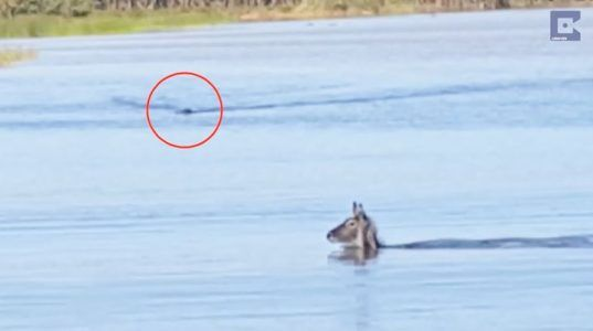 Lucky waterbuck makes miraculous escape from a crocodile   Credit: Caters News Agency #news #alternativenews
