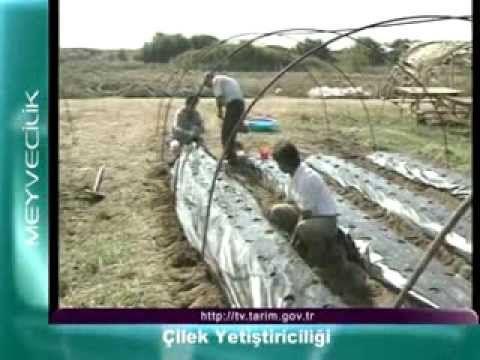 Çilek Yetiştiriciliği - YouTube