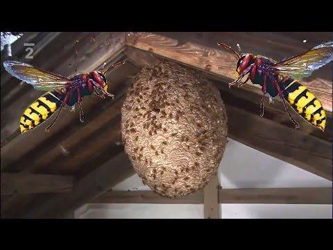 Tajemství divočiny Sršeň žlutavá dokument O hmyzím dravci neuvěřitelný život CZ HD - YouTube