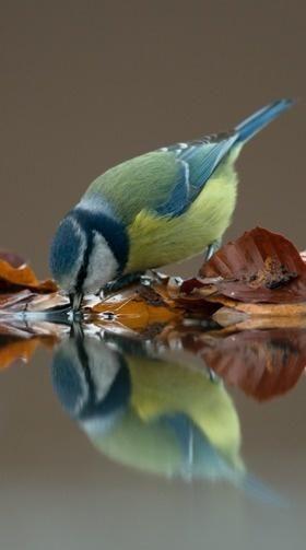 Beautiful. /// Blue tit reflected with Autumn foliage Blue tit.  Mésange bleue.  (Cyanistes caeruleus)