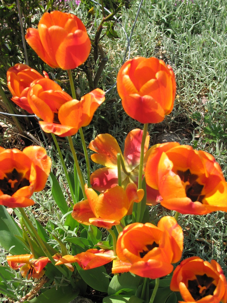 Spring tulips offer a fiery color after the long Winter http://www.MervEdinger.com