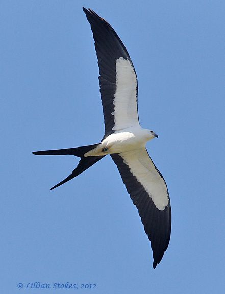 Birding Is Fun!: The 10 Most Beautiful Birds ~  Swallow-tailed Kite, gets our vote