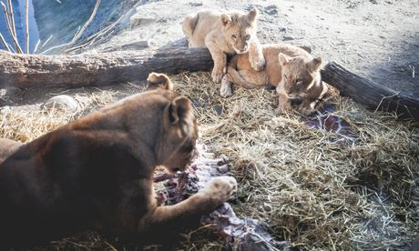 Danish zoo that killed Marius the giraffe puts down four lions. Copenhagen zoo says it has euthanised two old lions and two cubs to make way...