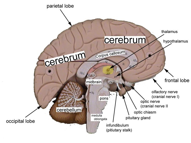 Human brain with labels