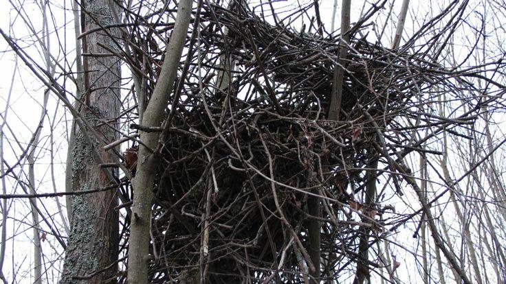 Harakka - Pesä: Puussa, suuri katollinen risulinna. Pesämalja muovattu savesta, vuorattu juurikuiduilla ja ruohoilla.