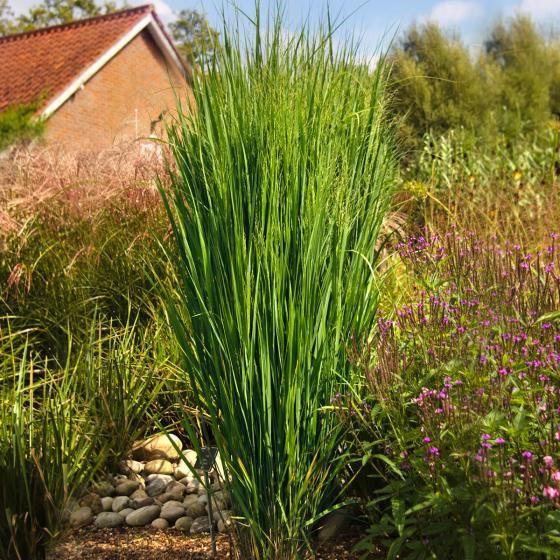 Säulenhof Nordwind online kaufen bei Gärtner Pötschke – Garten