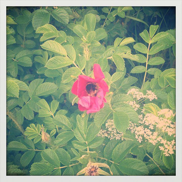 Mehiläinen ruusussa. Rose and a bee.