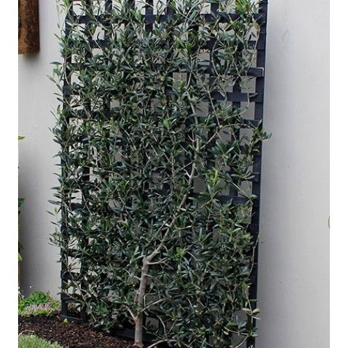 17 best images about front garden driveway on pinterest for Pruning olive trees in pots