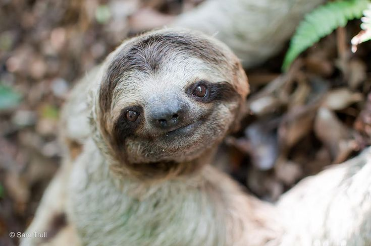 The Sloth Institute Adopt A Sloth in Costa Rica - The Sloth ...