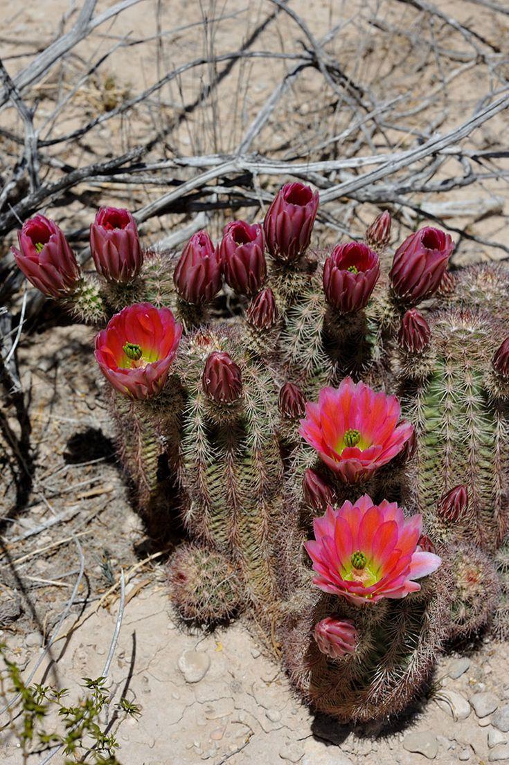 Echinocereus xlloydii, USA, Texas, Pecos Co.  More Pictures at: http://www.echinocereus.de