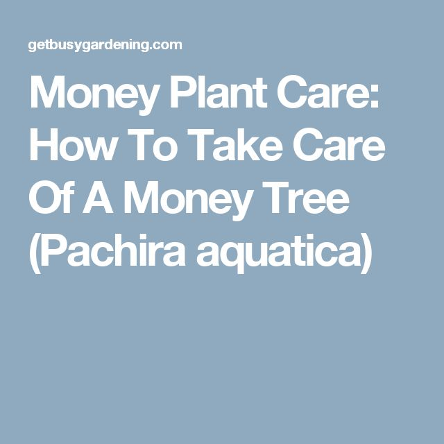 Money Plant Care: How To Take Care Of A Money Tree (Pachira aquatica)