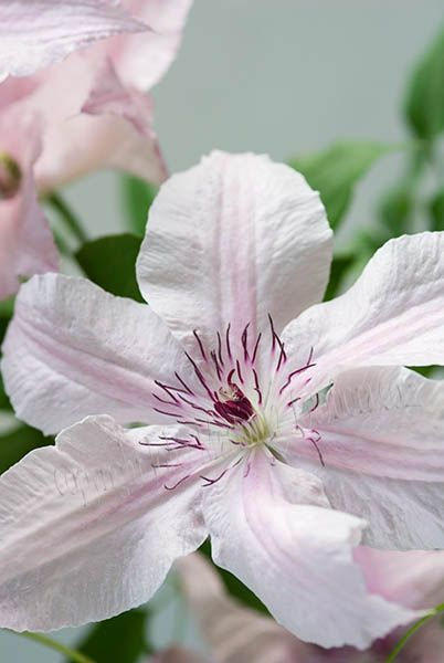 clematis fragrant star google search clematis. Black Bedroom Furniture Sets. Home Design Ideas
