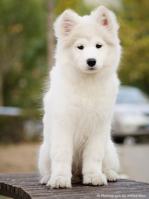 Samoyed Puppy, by Alfred M.