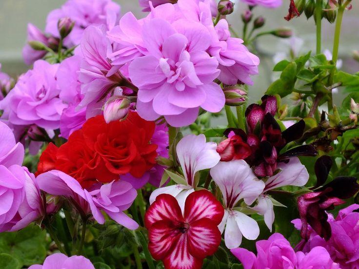 květ obrázky, pelargónie tapety, close-up vector, světlé pozadí