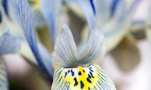 Iris 'Katharine Hodgkin', Dwarf Iris 'Katharine Hodgkin', Iris reticulata 'Katharine Hodgkin', Iris reticulata, Dwarf iris, Early spring Iris, Blue flowers, Blue iris