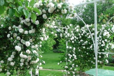 madame alfred carriere cl roses pinterest gardens. Black Bedroom Furniture Sets. Home Design Ideas