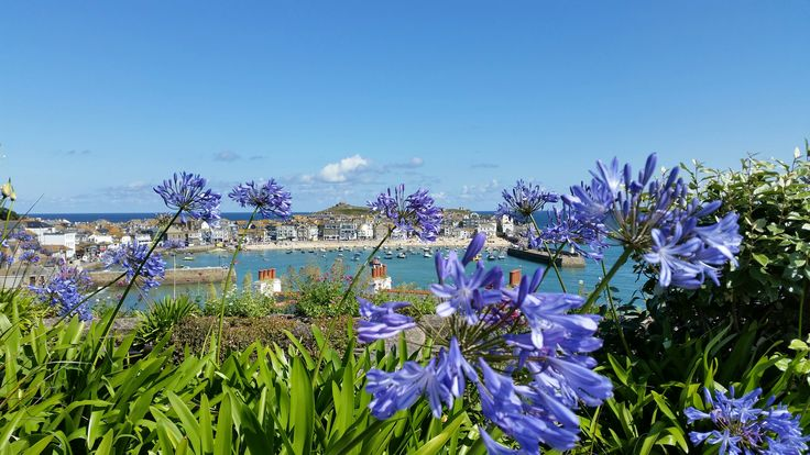 St Ives in Spring with beautiful blue Agapanthus by Andrew Lingard. #cornwall #coast