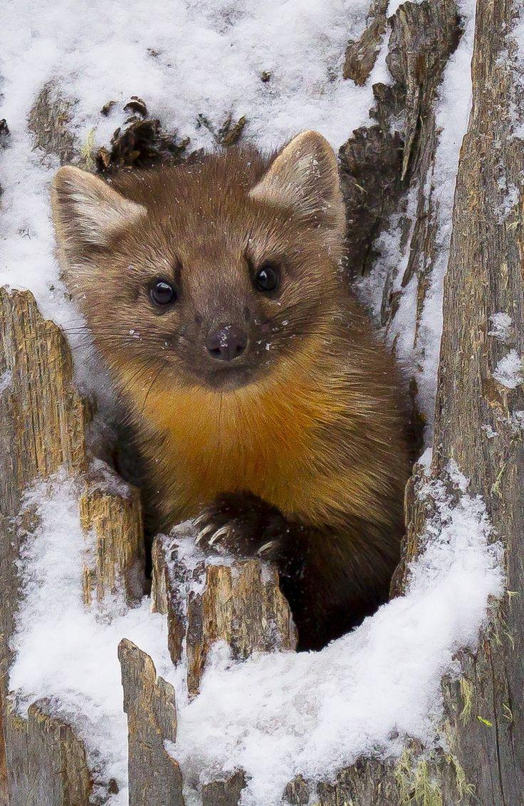95 best martens images on pinterest animals pine and wild animals