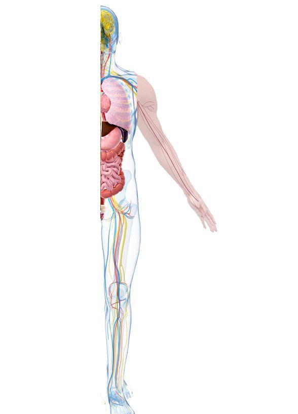 Ikvanbinnen is een site voor de oudste leerlingen van het basisonderwijs. Er zijn drie delen: het skelet & zo; zenuwen & zo; organen & zo.