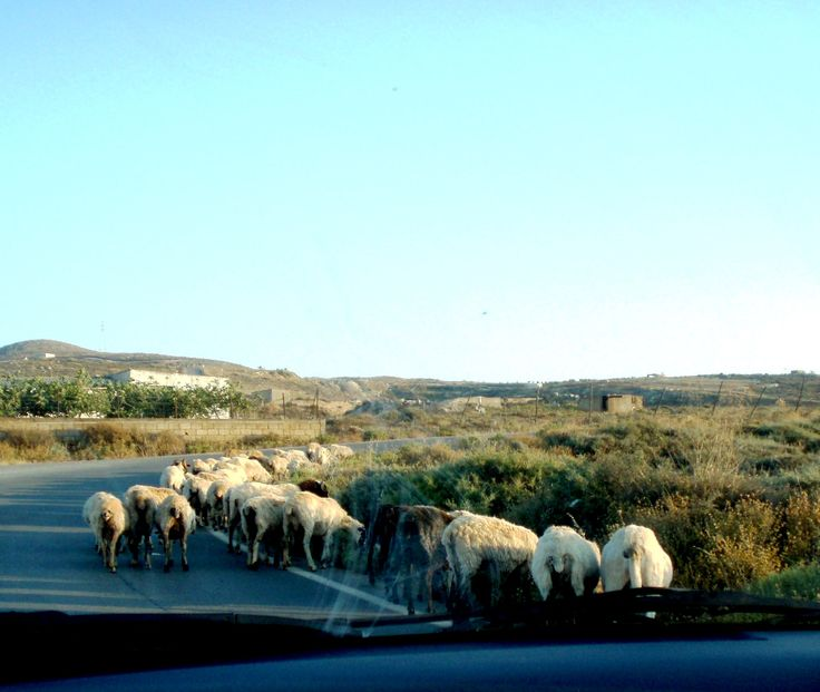 attention! sheep on the road..! Crete