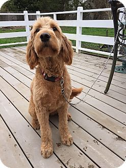 Puyallup, WA - Goldendoodle Mix. Meet Lily a Dog for Adoption.