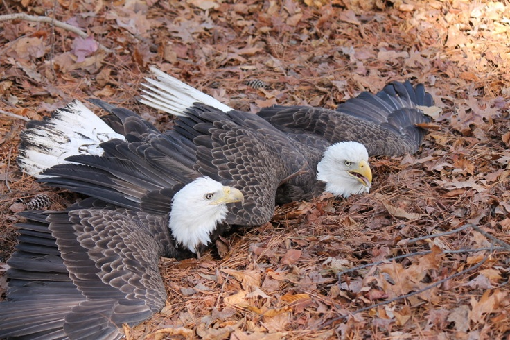 a male and female bald eagle near the Norfolk Botanical Gardens that got their talons tangled and fell to the ground. Not NBG Eagles. They flew away unharmed after a little intervention from helpful humans
