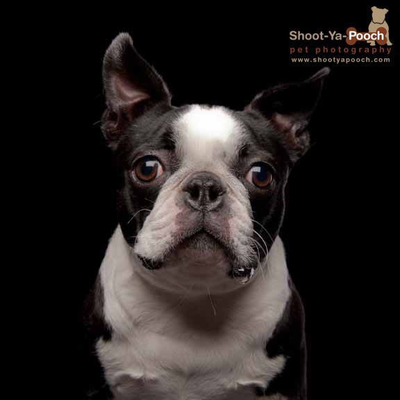 Boston Terrier photographed by Shoot-Ya-Pooch Pet Photography www.shootyapooch.com