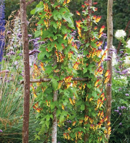 A quick-growing annual climber, with cascades of flowers, starting flame-red at the tip and fading to cream. It will look spectacular for three to four months, one of the best climbers you can grow.