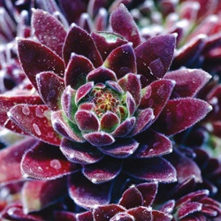 """These Hens & Chicks are my favorite. Although a succulent, they are easy to grow as they multiply very quickly from tiny rosettes """"chicks"""" to full size """"hens"""". Indoors and out."""