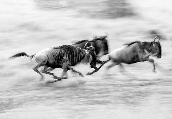 The Great Migration Migrating Wildebeest by GreyGhostNaturePhoto