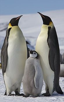 Ahh, Heck! National Geographic doesn't let you pin from their website!!!?! Well anyhow, their site has a pretty neat article concerning Emperor Penguins. Apparently there is a satellite out there that takes high res photos which a certain PhD student named Michelle LaRue of the University of Minnesota used to identify several hundred thousand more penguins than we previously thought!! Hooray Michelle! Hooray Aptenodytes! Happy Aptenodytes?