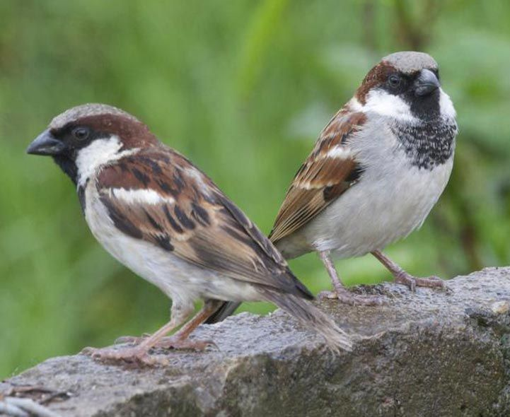 The House Sparrow, also called English Sparrow, is a native of Eurasia and northern Africa, and was originally introduced in Brooklyn, NY in 1851. It is not a sparrow, but a weaver finch. The House Sparrow is now common in cities, suburbs, and farms and are especially abundant in areas where grains are available or where people feed birds