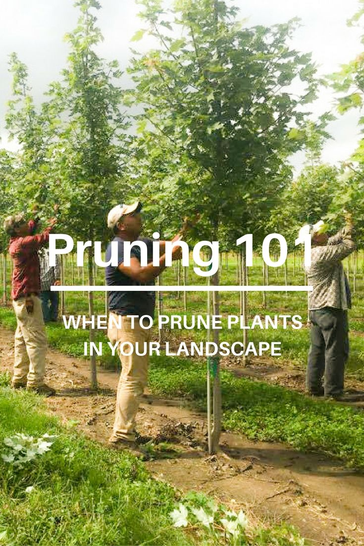 1000 Ideas About Tree Pruning On Pinterest Fruit Trees Tree