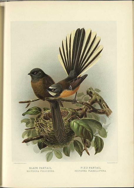 Black Fantail, Pied Fantail - vintage print, nz birds