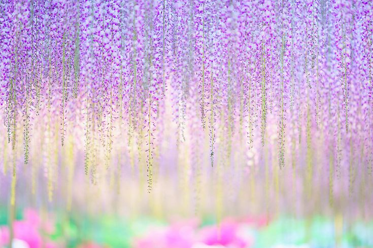 Водопад глициний в Японии – неземная красота! – Фитнес для мозга
