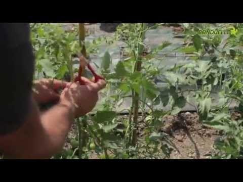 La sfemminellatura dei pomodori -- Bonduelle TV -- A spasso nell'orto - YouTube