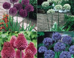Alliums are still top of any garden designers list. The unusual and often striking flower heads compliment the modern cottage garden. Alliums left undisturbed in well-drained soil will naturalise and give years of pleasure.
