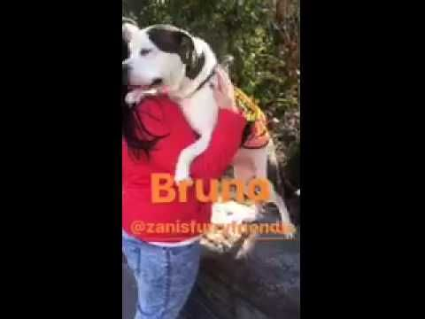 Pictures Of Bruno Brunelli Happy Face A American Bulldog For