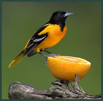 Oriels love niger seed and oranges.